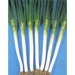 ISHIKURA LONG WHITE (Allium fistulosum) op.100 g.