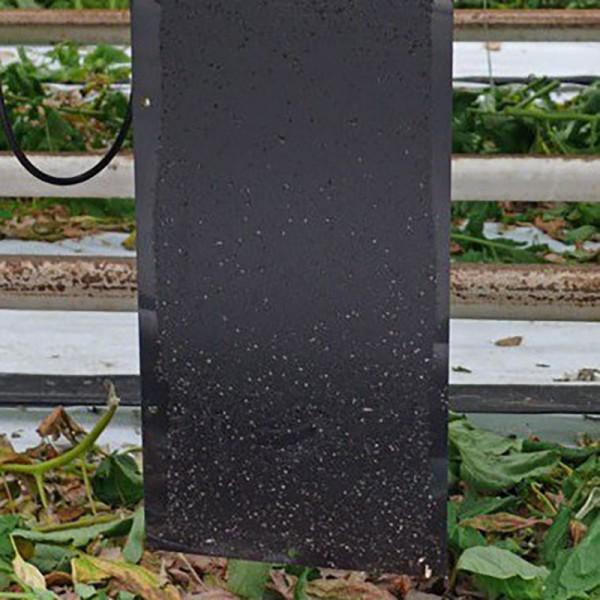 Czarne tablice lepowe , tuta absoluta , skośnik pomidorowy , zwalczanie 20x25